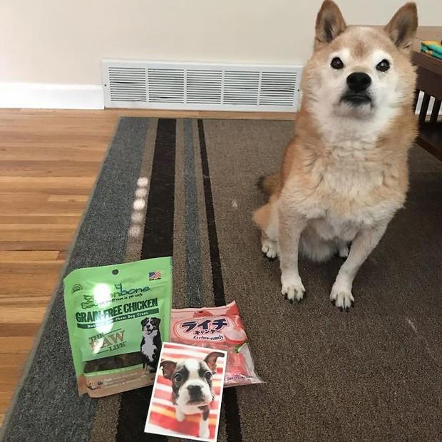 Gặp gỡ cụ chó Shiba Inu 12 tuổi có khuôn mặt siêu khó ở, lúc nào cũng hờn cả thế giới - Ảnh 7.