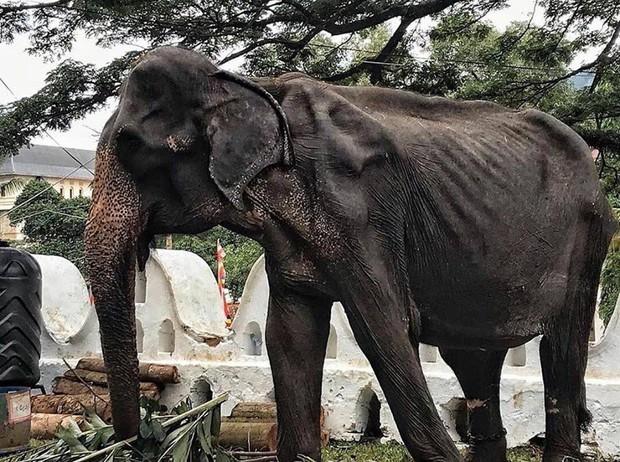 Sự thật đau thương phía sau những con voi lộng lẫy tại lễ hội lớn nhất Sri Lanka: Cơ thể 70 tuổi gầy yếu, da bọc xương đến xót xa - Ảnh 2.