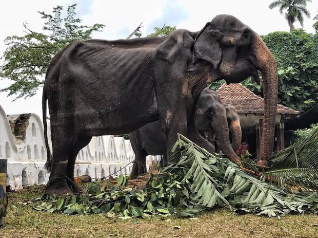 Sự thật đau thương phía sau những con voi lộng lẫy tại lễ hội lớn nhất Sri Lanka: Cơ thể 70 tuổi gầy yếu, da bọc xương đến xót xa - Ảnh 3.