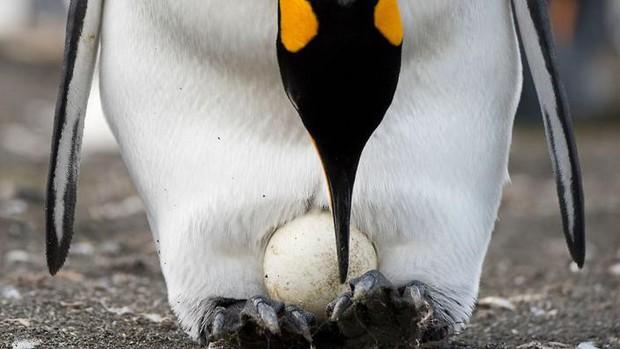 Cặp chim cánh cụt đồng tính được nhận nuôi một quả trứng sau một thời gian dài phải... ấp đá cuội - Ảnh 3.