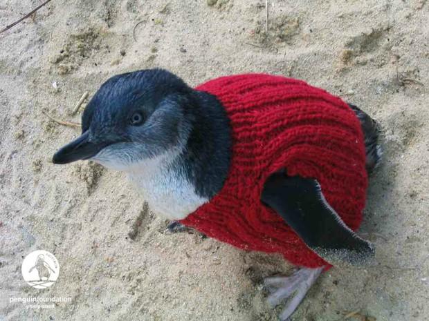 Cặp chim cánh cụt đồng tính được nhận nuôi một quả trứng sau một thời gian dài phải... ấp đá cuội - Ảnh 4.