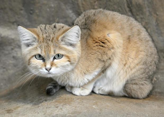 Mèo cát Ả Rập - loài mèo tàng hình lần đầu tiên xuất hiện trước ống kính máy ảnh sau 10 năm vắng bóng - Ảnh 2.