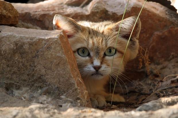 Mèo cát Ả Rập - loài mèo tàng hình lần đầu tiên xuất hiện trước ống kính máy ảnh sau 10 năm vắng bóng - Ảnh 4.