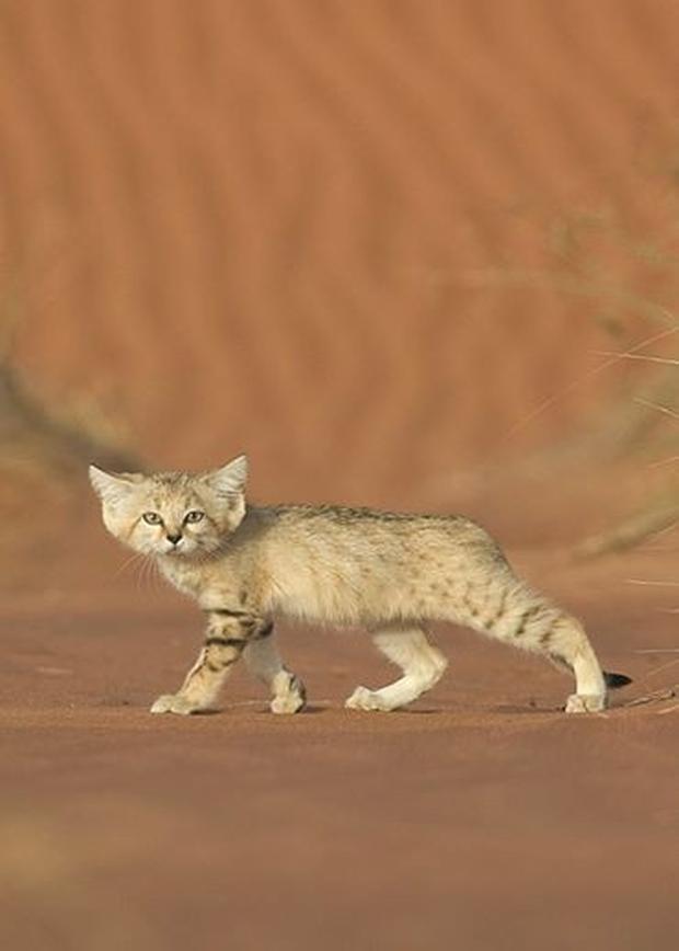 Mèo cát Ả Rập - loài mèo tàng hình lần đầu tiên xuất hiện trước ống kính máy ảnh sau 10 năm vắng bóng - Ảnh 5.