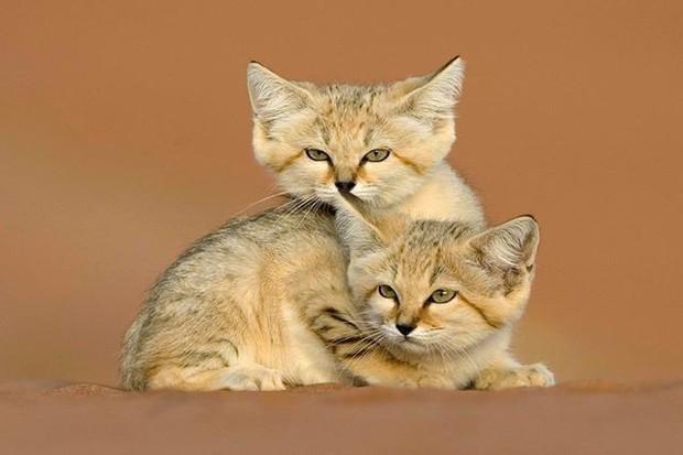 Mèo cát Ả Rập - loài mèo tàng hình lần đầu tiên xuất hiện trước ống kính máy ảnh sau 10 năm vắng bóng - Ảnh 6.