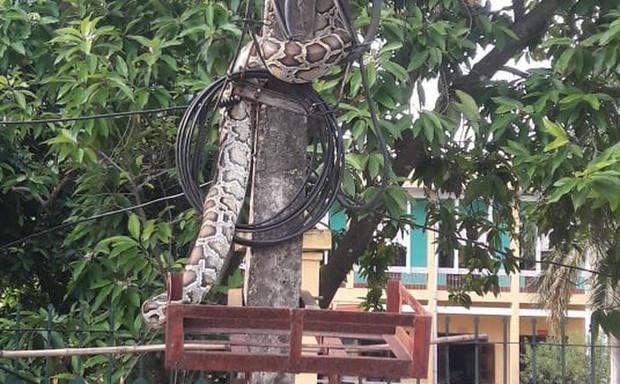Trăn khủng vắt vẻo trên cột điện trước cổng UBND xã ở Phú Thọ đã bị người dân mổ thịt - Ảnh 1.