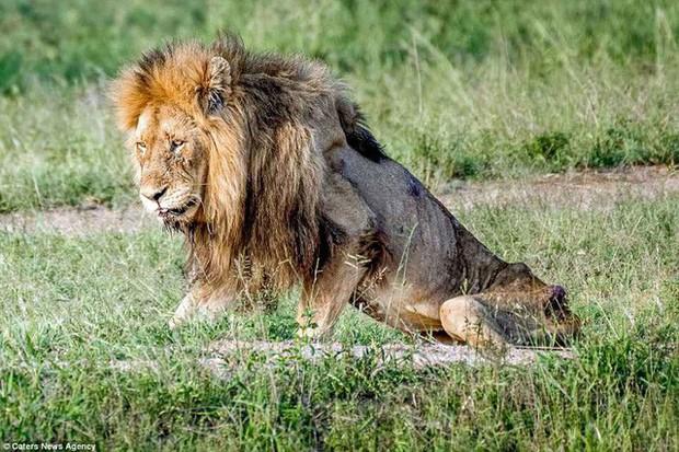 Cái kết của một vị vua: Bi kịch phũ phàng khi sư tử về già và bị đuổi khỏi đàn - Ảnh 1.