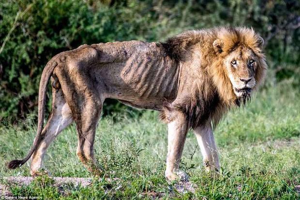 Cái kết của một vị vua: Bi kịch phũ phàng khi sư tử về già và bị đuổi khỏi đàn - Ảnh 2.