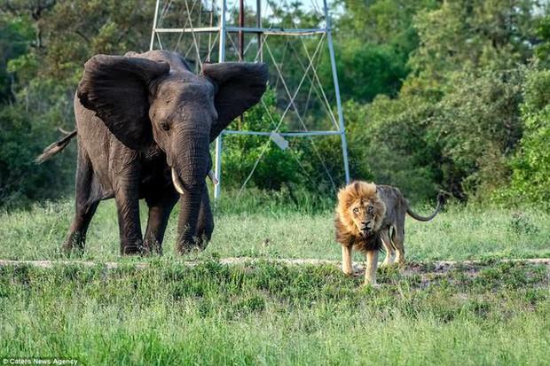 Cái kết của một vị vua: Bi kịch phũ phàng khi sư tử về già và bị đuổi khỏi đàn - Ảnh 4.