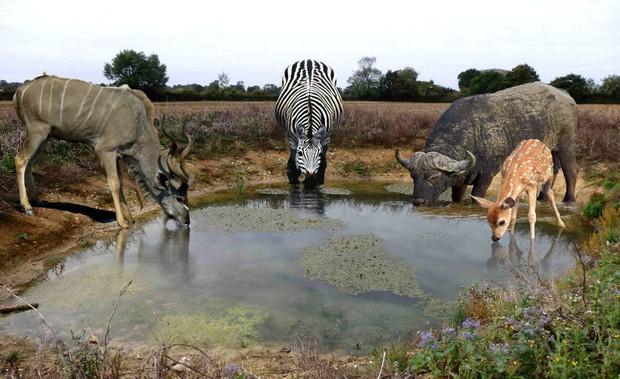 Uống nước nơi ao, hồ bẩn mà không ốm: tạo hóa đã làm gì để động vật hoang dã có khả năng này? - Ảnh 3.