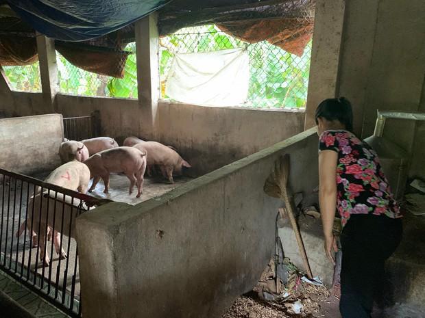 Kỳ tích: Lần đầu tiên đàn heo nhiễm dịch tả lợn Châu Phi sắp bị tiêu hủy, bất ngờ hết bệnh nhờ... ăn bã rượu - Ảnh 4.