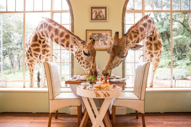 """Khách sạn nổi tiếng nhất châu Phi vì cho du khách ăn sáng cùng hươu cao cổ: Dễ thương thật, nhưng cái giá thì """"chát"""" quá! - Ảnh 5."""