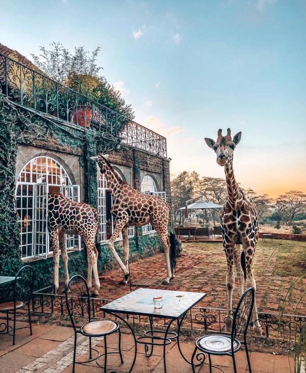 """Khách sạn nổi tiếng nhất châu Phi vì cho du khách ăn sáng cùng hươu cao cổ: Dễ thương thật, nhưng cái giá thì """"chát"""" quá! - Ảnh 4."""