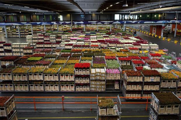 Quốc gia này có diện tích chỉ bằng 1/8 Việt Nam nhưng lại chi phối ngành hoa 100 tỷ USD thế giới: Đầu tư công nghệ, giao dịch hoa như cổ phiếu - Ảnh 7.