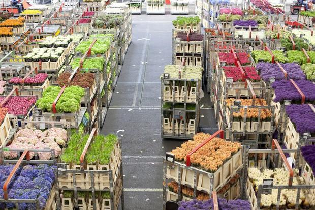 Quốc gia này có diện tích chỉ bằng 1/8 Việt Nam nhưng lại chi phối ngành hoa 100 tỷ USD thế giới: Đầu tư công nghệ, giao dịch hoa như cổ phiếu - Ảnh 8.