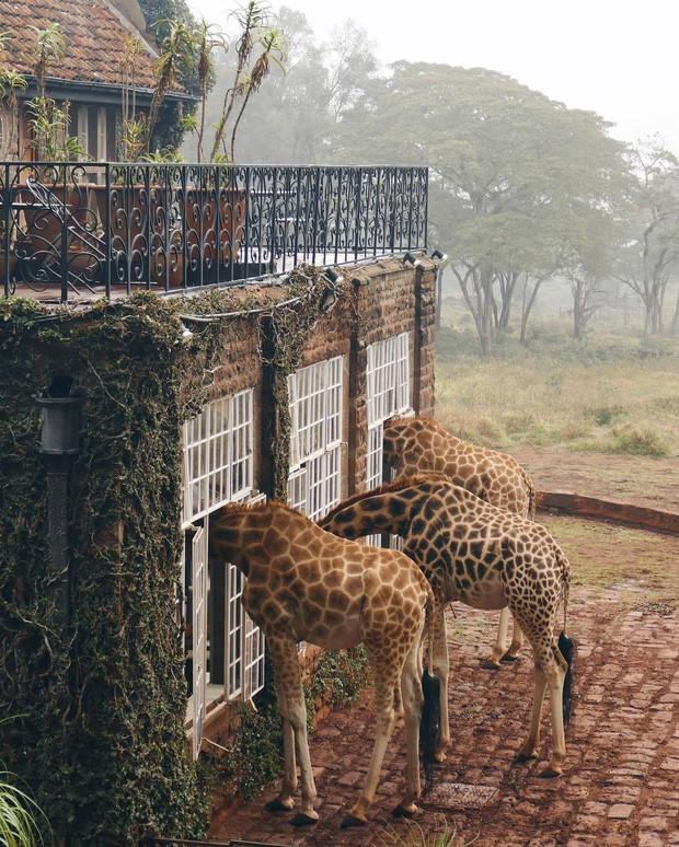 """Khách sạn nổi tiếng nhất châu Phi vì cho du khách ăn sáng cùng hươu cao cổ: Dễ thương thật, nhưng cái giá thì """"chát"""" quá! - Ảnh 7."""