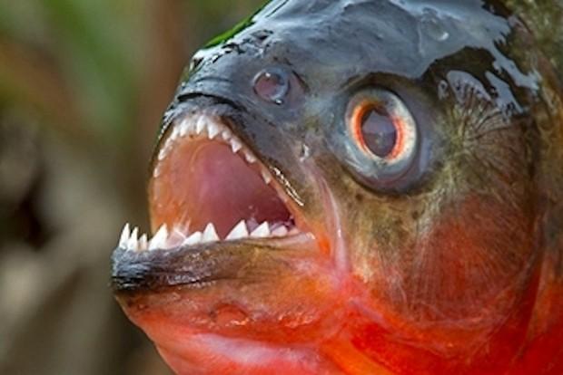 """Nhật Bản có món mì ramen nghe là sợ """"ướt quần"""": nấu bằng cá ăn thịt người piranha - Ảnh 1."""