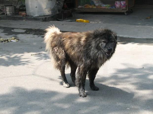 Việc gì phải chọn chó Nhật Shiba khi Việt Nam cũng có tứ đại danh khuyển dư sức đóng Cậu Vàng? - Ảnh 3.