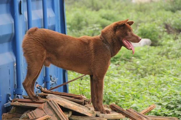 Việc gì phải chọn chó Nhật Shiba khi Việt Nam cũng có tứ đại danh khuyển dư sức đóng Cậu Vàng? - Ảnh 11.
