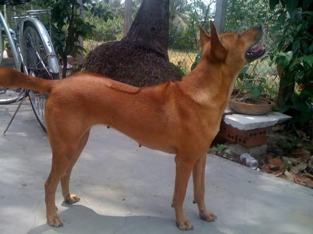 Việc gì phải chọn chó Nhật Shiba khi Việt Nam cũng có tứ đại danh khuyển dư sức đóng Cậu Vàng? - Ảnh 8.
