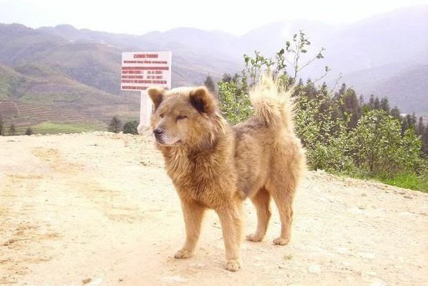 Chê cún thuần Việt thiên tính tự nhiên cao, NSX Cậu Vàng lại bỏ qua chú chó Bắc Hà đáng yêu này? - Ảnh 7.