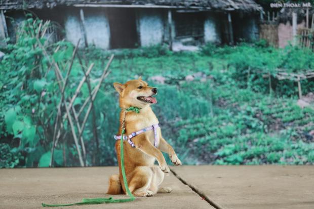 Giả thuyết về pha bẻ lái cực gắt của Cậu Vàng shiba: Boss của lão Hạc là chú chó Hachiko huyền thoại năm nào? - Ảnh 2.