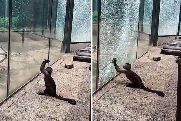 Khỉ thông minh mài sắc đá đập vỡ cửa sổ vườn thú khiến du khách kinh ngạc - Ảnh 1.
