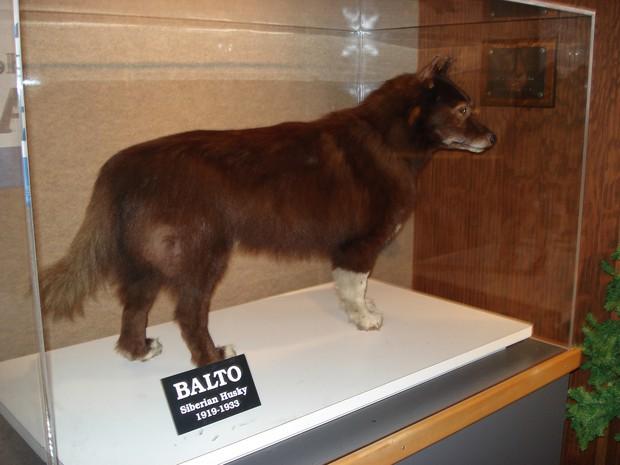 Câu chuyện có thật về 150 chú chó husky anh hùng từng cứu sống ngôi làng 10.000 người khỏi căn bệnh bạch hầu tử thần - Ảnh 7.