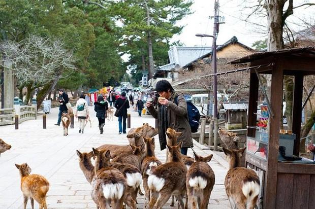 Đến Nhật Bản, du khách phải cúi đầu chào... những chú nai và cho chúng ăn thật lịch sự nếu không muốn bị tấn công - Ảnh 5.