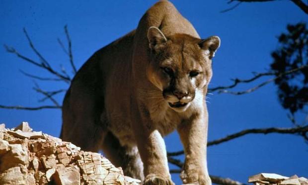 Bị báo sư tử săn đuổi, cô gái nhanh trí cứu bản thân lẫn pet ngáo husky thoát chết nhờ... bài nhạc rock bùng cháy - Ảnh 1.