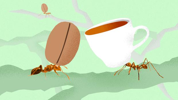 Nghe cafe chồn, cafe voi đã lâu, hóa ra còn có cả cafe kiến cực độc mà có tiền cũng chưa chắc mua được - Ảnh 3.