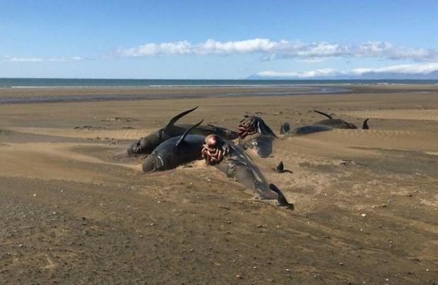 Lại phát hiện đàn cá voi chết và mắc cạn bí ẩn ở bờ biển Iceland - Ảnh 1.