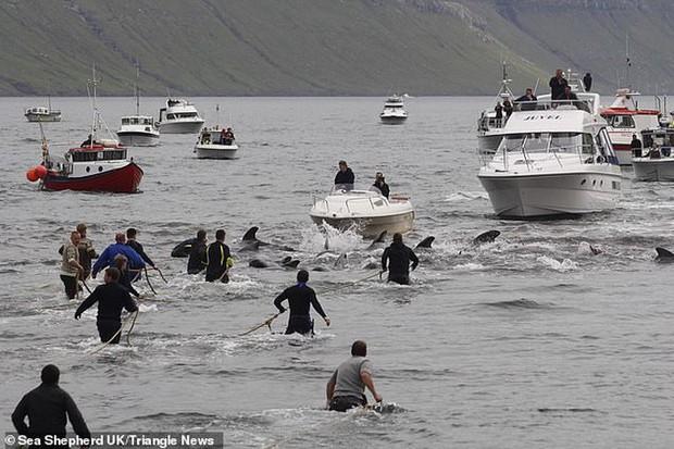 Hàng chục cá voi bị giết, máu nhuộm đỏ nước quần đảo Faroe - Ảnh 1.