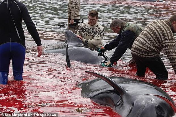 Hàng chục cá voi bị giết, máu nhuộm đỏ nước quần đảo Faroe - Ảnh 9.