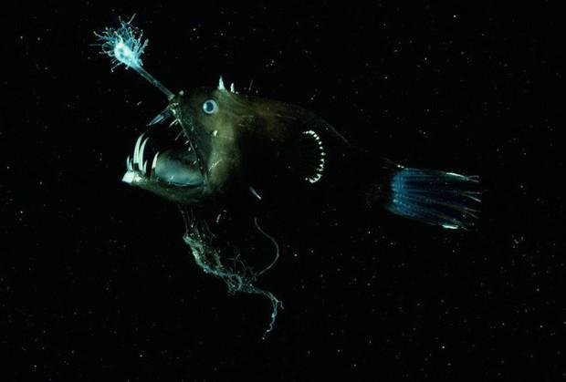 Cá lồng đèn: tên dễ thương nhưng mặt thì không thương nổi và có những hành vi đáng sợ nhất đại dương - Ảnh 2.