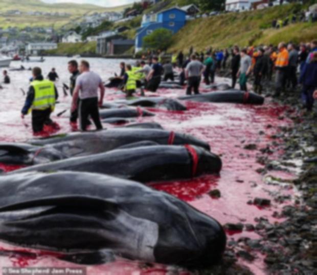 Hình ảnh thợ săn giết thịt 94 con cá voi làm bờ biển nhuốm đỏ, con non bị cắt khỏi bụng mẹ khiến nhiều người đau xót - Ảnh 1.