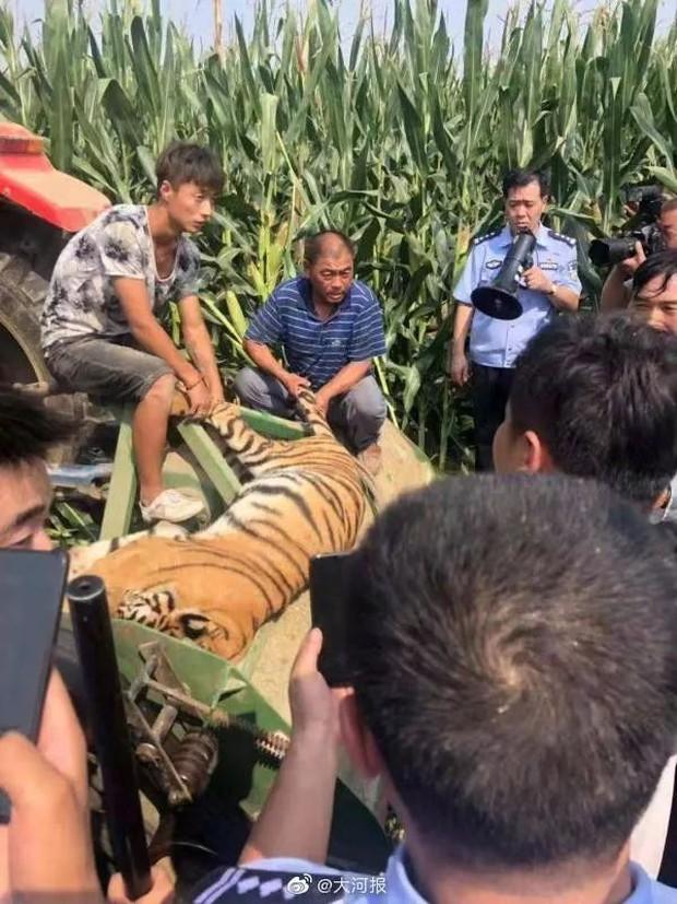 Con hổ trốn khỏi gánh xiếc rồi bị ô tô tông chết khiến MXH phẫn nộ: Tất cả những gì chú hổ muốn là được tự do - Ảnh 3.