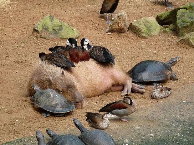 Chỉ mong đời thật an nhiên và yên bình như chuột lang béo ú: Thân thiện như hoa hậu hoàn vũ, giao lưu từ đầu gấu cho tới hiền lành trong giới động vật - Ảnh 1.