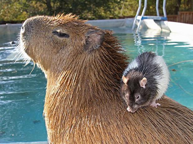 Chỉ mong đời thật an nhiên và yên bình như chuột lang béo ú: Thân thiện như hoa hậu hoàn vũ, giao lưu từ đầu gấu cho tới hiền lành trong giới động vật - Ảnh 2.