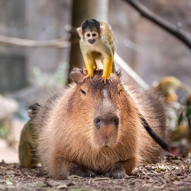 Chỉ mong đời thật an nhiên và yên bình như chuột lang béo ú: Thân thiện như hoa hậu hoàn vũ, giao lưu từ đầu gấu cho tới hiền lành trong giới động vật - Ảnh 7.