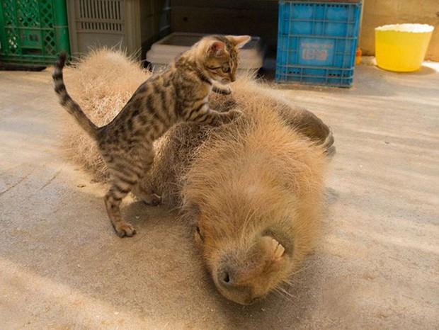 Chỉ mong đời thật an nhiên và yên bình như chuột lang béo ú: Thân thiện như hoa hậu hoàn vũ, giao lưu từ đầu gấu cho tới hiền lành trong giới động vật - Ảnh 9.