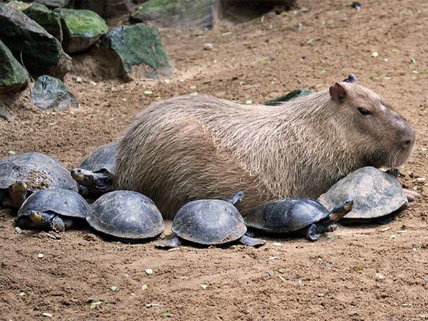 Chỉ mong đời thật an nhiên và yên bình như chuột lang béo ú: Thân thiện như hoa hậu hoàn vũ, giao lưu từ đầu gấu cho tới hiền lành trong giới động vật - Ảnh 10.
