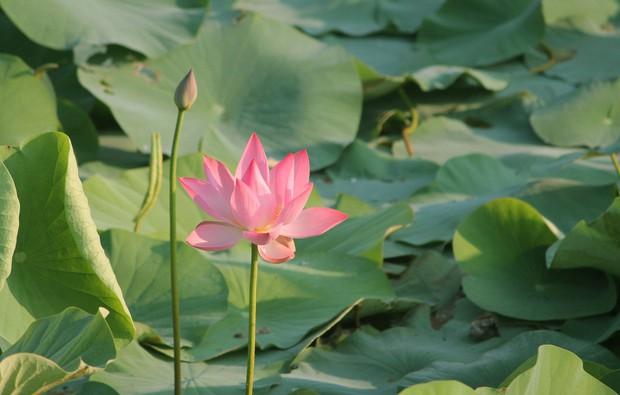 Không chỉ xuất hiện trong video của nhà mốt Louis Vuitton, hoa sen còn được xem như một trong những hình ảnh đại diện cho du lịch Việt Nam  - Ảnh 7.