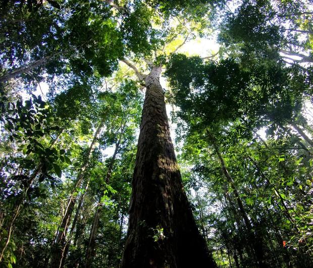 Kỷ lục cây cao nhất của rừng Amazon vừa tăng vọt thêm 50% mà khoa học đang không thể hiểu tại sao - Ảnh 1.
