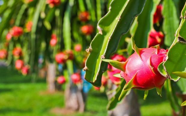 6 loại trái cây tươi ở Việt Nam đã được xuất khẩu thành công với giá bán khó tin - Ảnh 4.