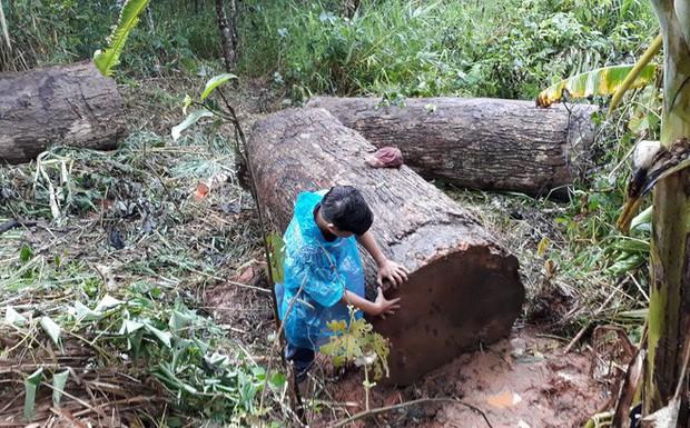 Người đàn ông chở gỗ lậu bị gỗ đè tử vong khi đang vận chuyển - Ảnh 1.