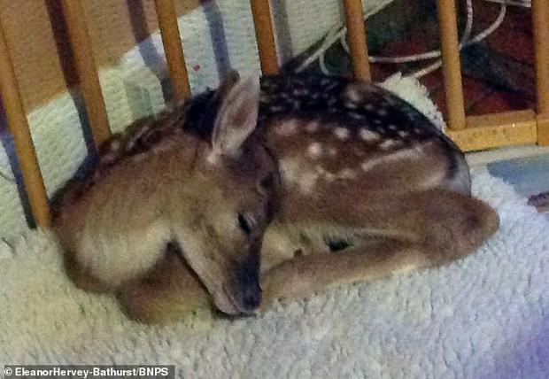 Nhớ ơn cứu mạng lúc mới sinh, chú hươu tình nghĩa thường xuyên tìm đường quay về căn nhà nhỏ thăm lại gia đình ân nhân tốt bụng - Ảnh 1.