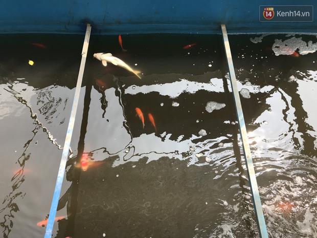 Cá Koi chết sau 2 ngày được thả xuống sông Tô Lịch, bảo vệ túc trực ngày đêm - Ảnh 5.