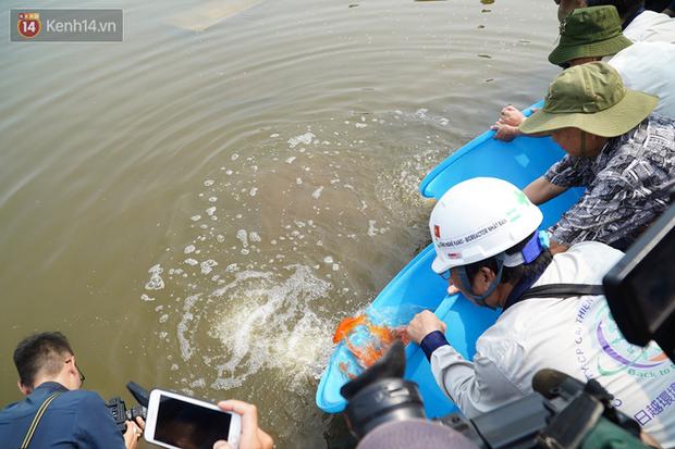 Cá Koi chết sau 2 ngày được thả xuống sông Tô Lịch, bảo vệ túc trực ngày đêm - Ảnh 1.