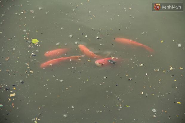 Cá Koi chết sau 2 ngày được thả xuống sông Tô Lịch, bảo vệ túc trực ngày đêm - Ảnh 11.